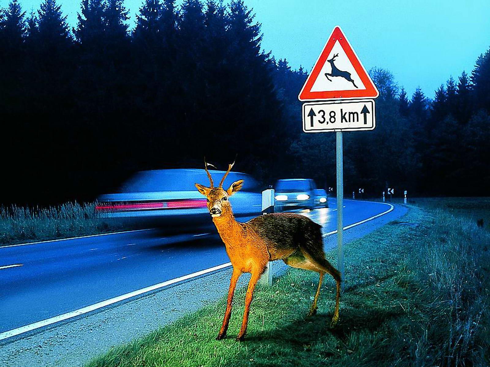 animal_en_la_carretera_01