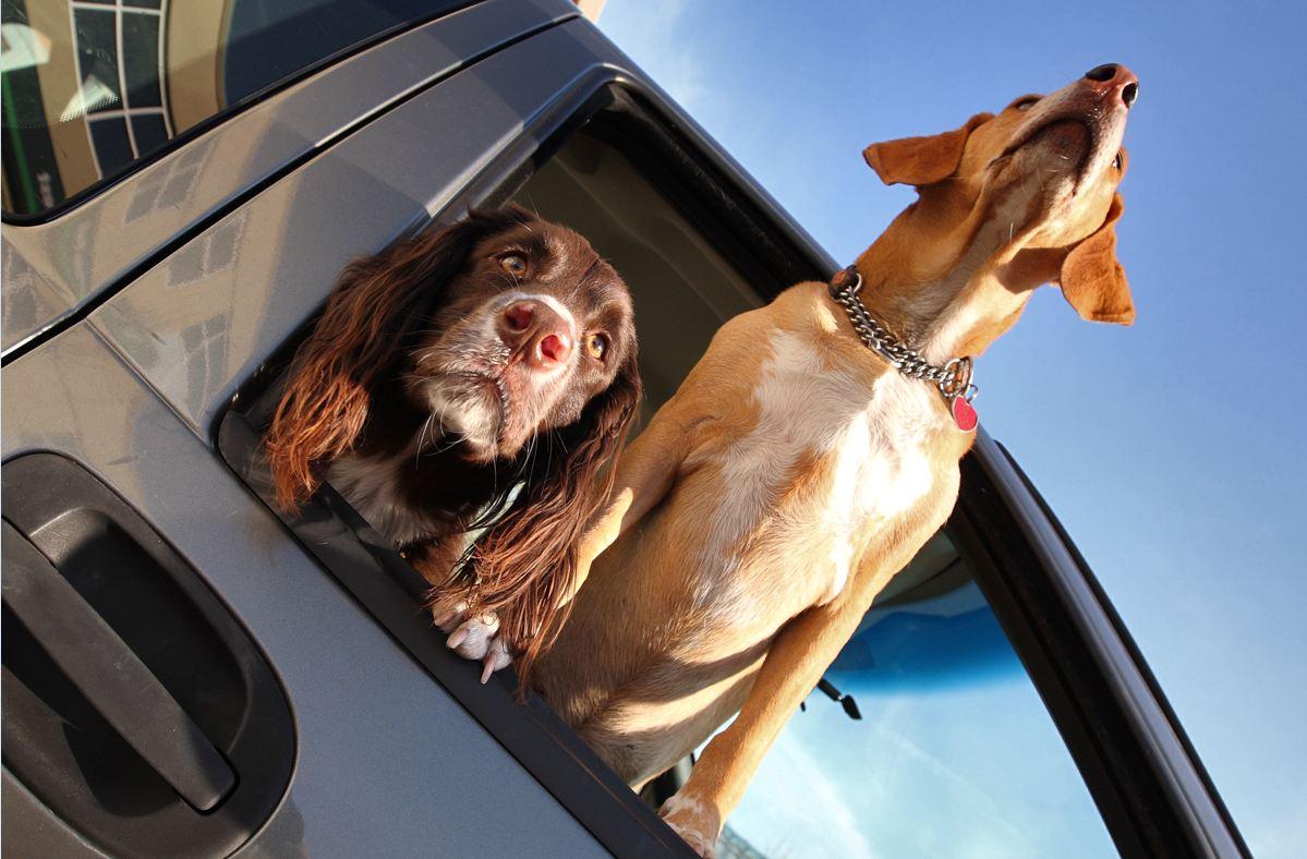 coche perros ventanilla
