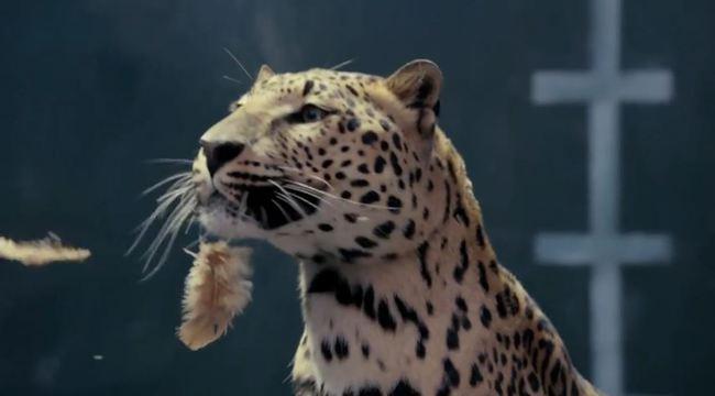 Jaguar vs gallina