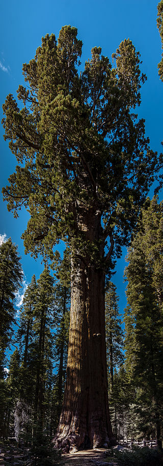 General Sherman - Three Rivers, California - Wikipedia