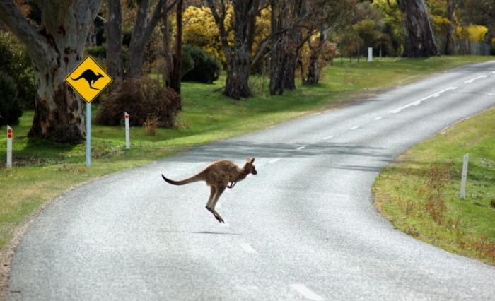 Señal tráfico peligro canguro