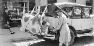 Vaca en un coche
