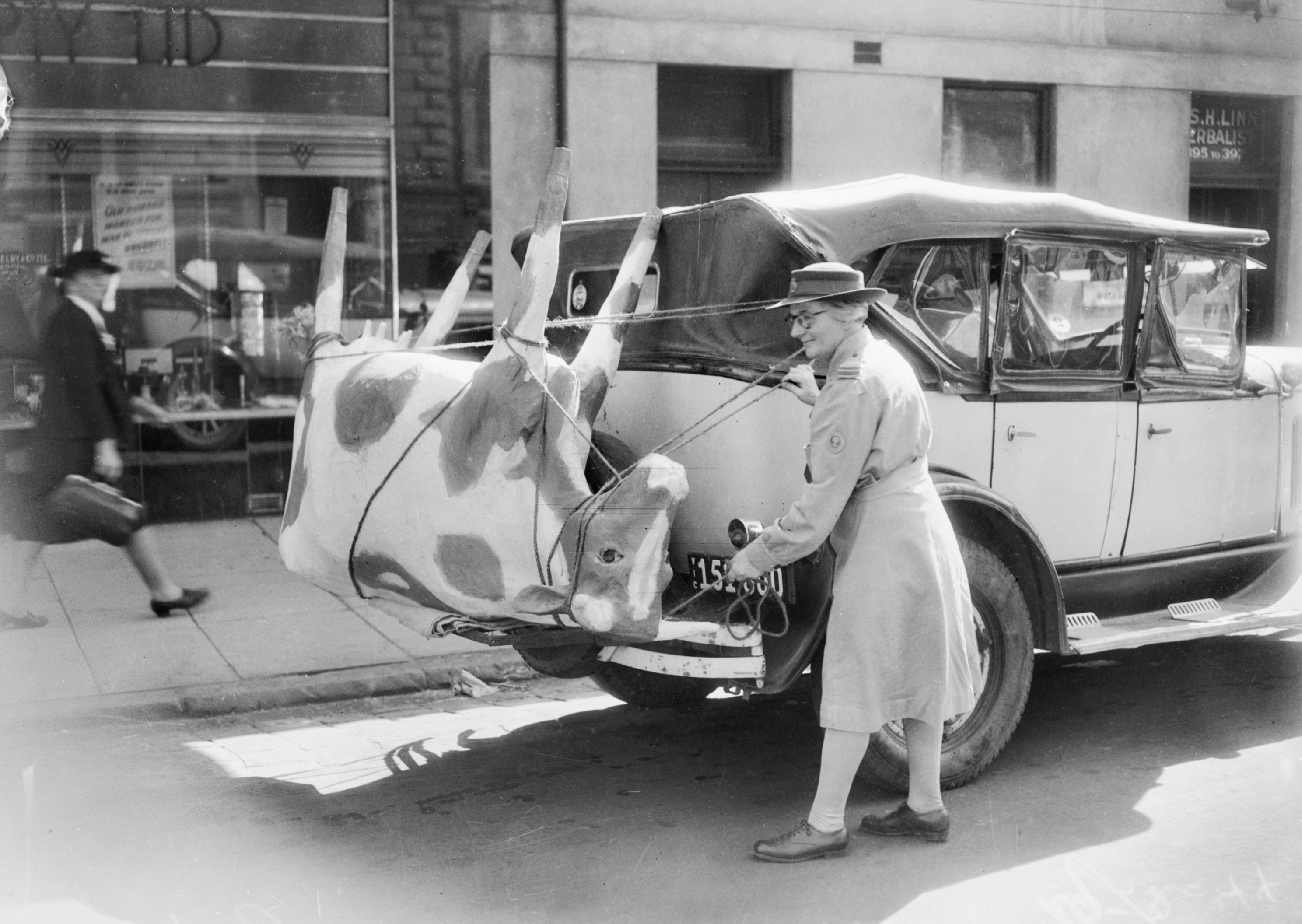 Cow in a car 1944
