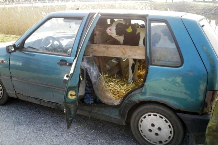Ternero dentro de un coche