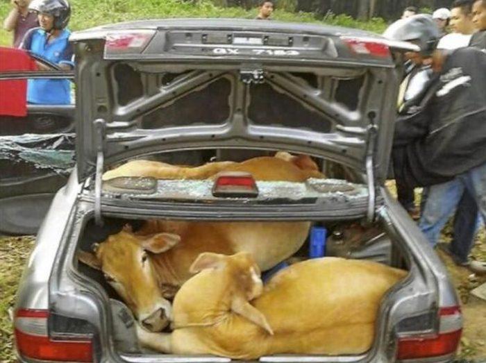 Cuatro vacas en un coche