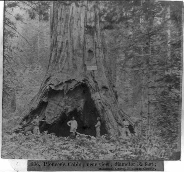 Pioneer Cabin Tree a inicios del siglo XIX
