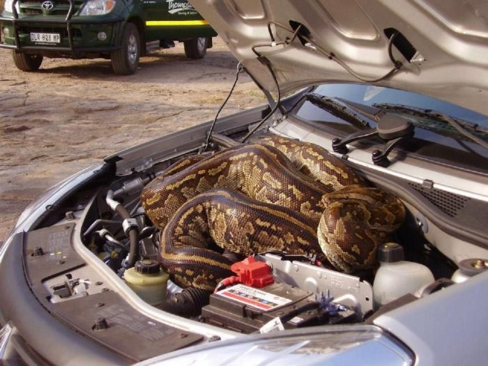 python-in-car-engine-s960x720-430749-1020