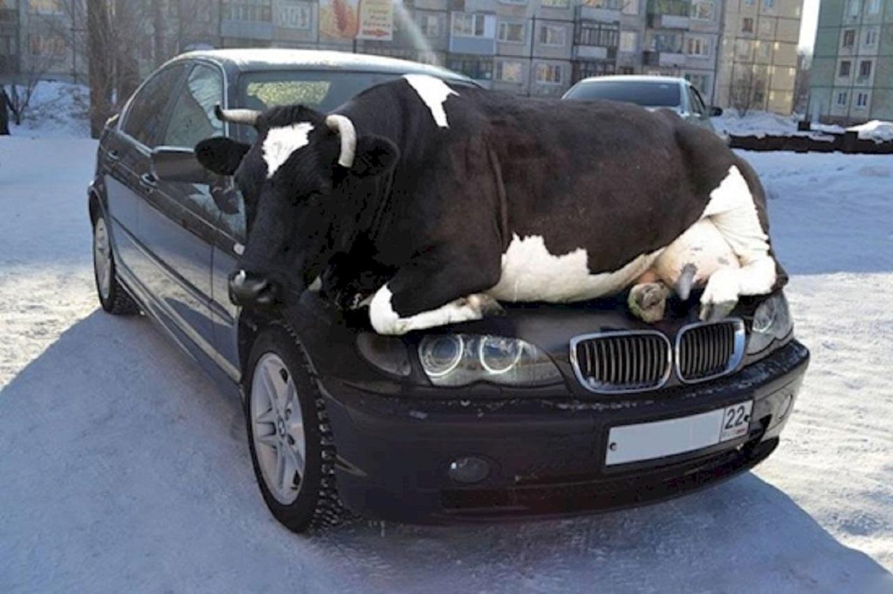 vaca-en-coche