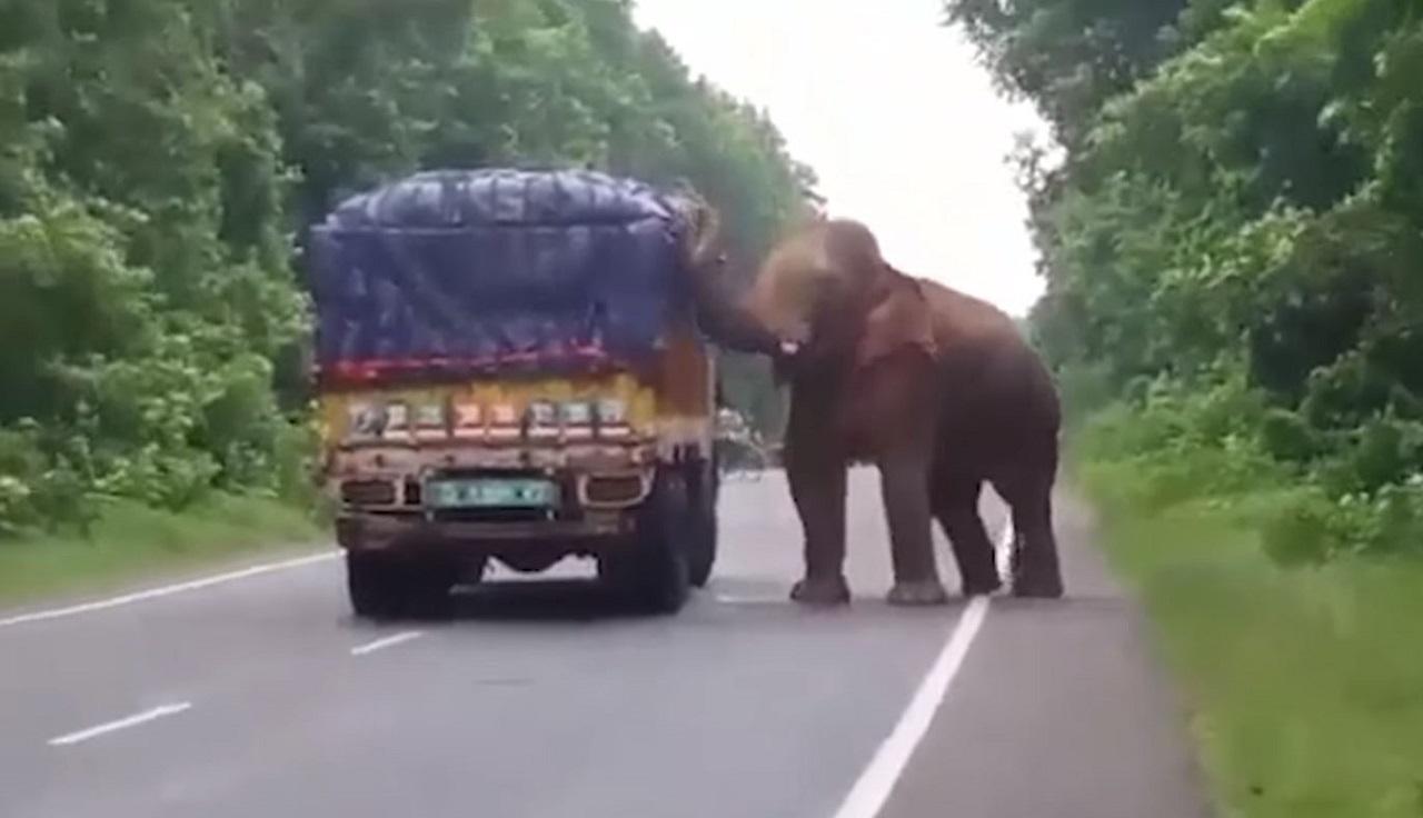 elefante robando comida