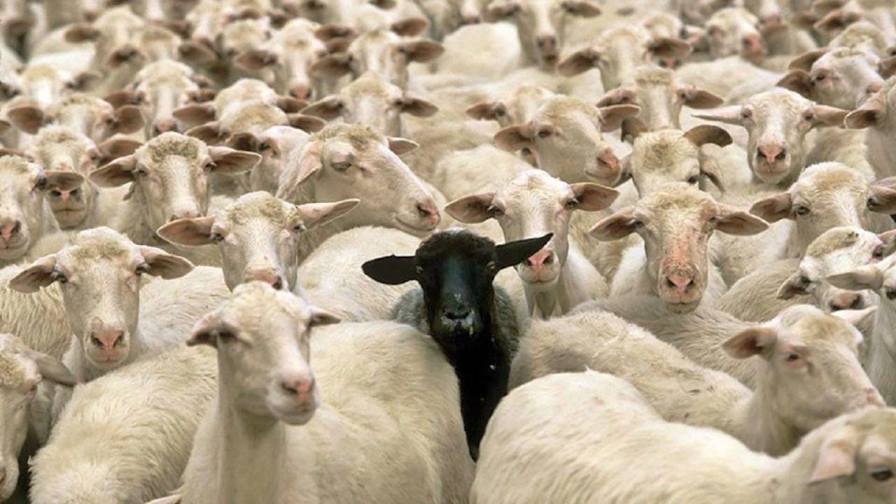 oveja negra rebano
