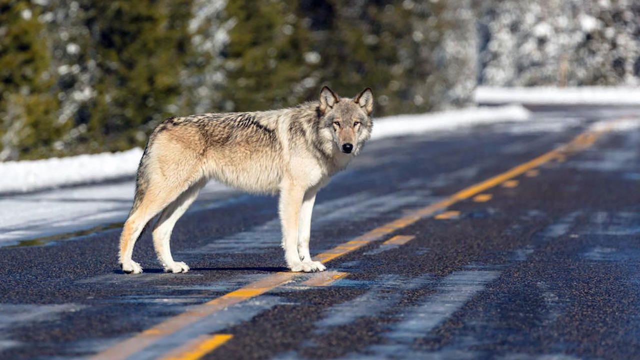 lobo carretera